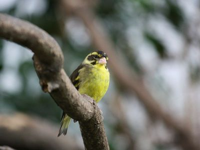 Yellow-breasted Greenfinch (Chloris spinoides) ©WikiC