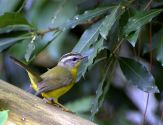 Golden-crowned Warbler (Basileuterus culicivorus) ©WikiC