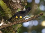 Yellow-thighed Finch (Pselliophorus tibialis) by Ian