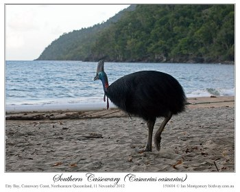Southern Cassowary and Solar Eclipse by Ian 5