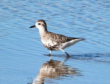 Black-bellied Plover - Ft DeSoto 11-22-12 Thanksgiving by Lee