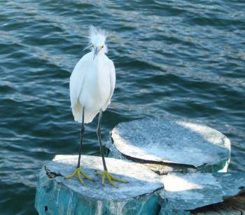 Snowy Egret - Wind Blown at Ft DeSoto 11-22-12 Thanksgiving