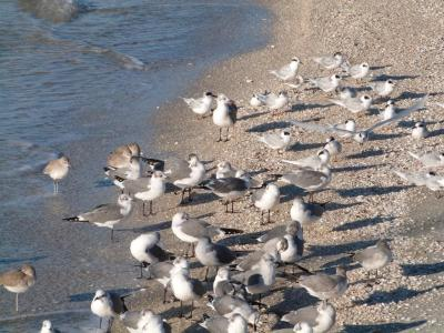 Willit - Laughing Gull - Forster's Tern at Ft DeSoto 11-22-12 Thanksgiving