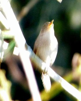 House Wren Proof Shot Singing cropped