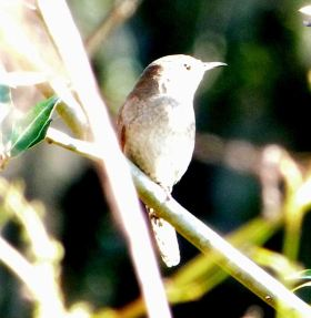 House Wren Proof Shot by Lee at Circle B