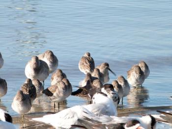 Shorebirds at MacDill AFB shore 11-23-12