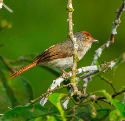 Chestnut-capped Flycatcher (Erythrocercus mccallii) ©WikiC