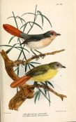 Chestnut-capped Flycatcher (Erythrocercus mccallii) and Livingstone's Flycatcher (Erythrocercus livingstonei) ©WikiC