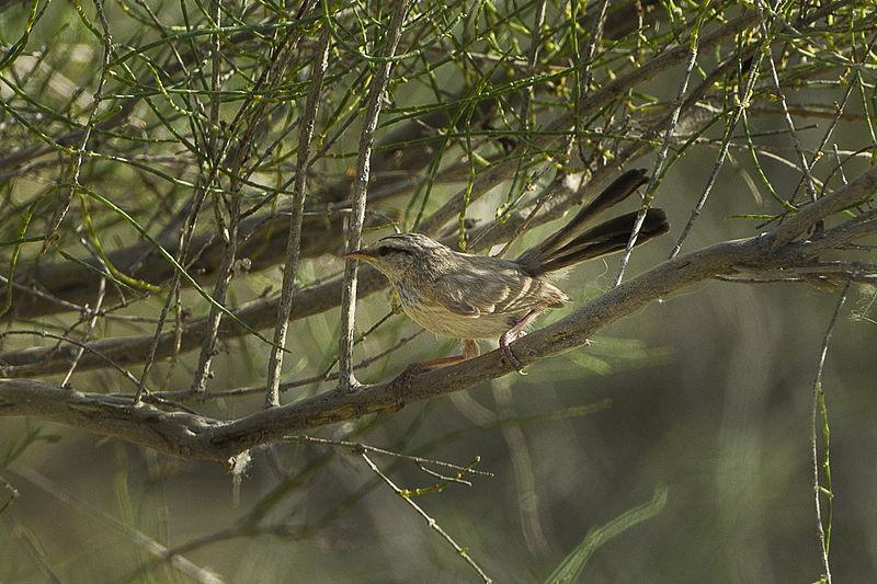 Streaked Scrub Warbler (Scotocerca inquieta) ©WikiC