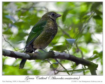 Green Catbird (Ailuroedus crassirostris) by Ian 1