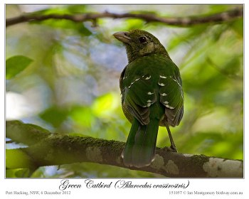 Green Catbird (Ailuroedus crassirostris) by Ian 2