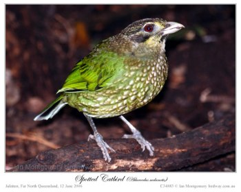 Green Catbird (Ailuroedus crassirostris) by Ian 3