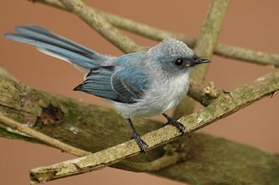 White-tailed Blue Flycatcher (Elminia albicauda) ©WikiC