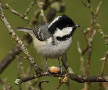 Coal Tit (Periparus ater) ©WikiC