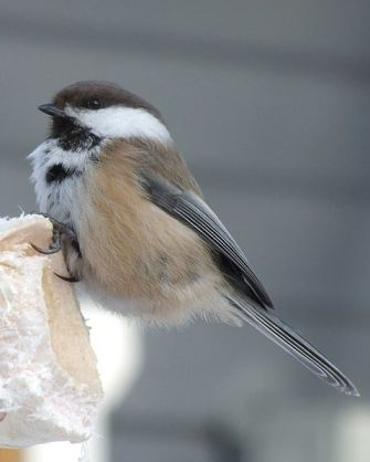 Grey-headed Chickadee (Poecile cinctus) ©WikiC