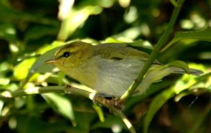 Yellow-throated Woodland Warbler (Phylloscopus ruficapilla) ©WikiC
