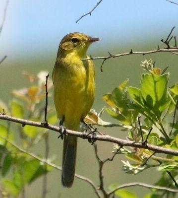 African Yellow Warbler (Iduna natalensis) ©WikiC