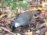 Black-throated Laughingthrush (Pterorhinus chinensis) ProofShot