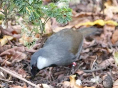 Black-throated Laughingthrush (Garrulax chinensis) ProofShot