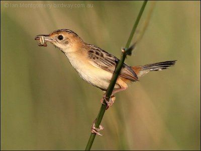 Golden-headed Cisticola (Cisticola exilis) by Ian