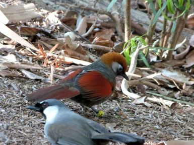 Red-tailed Laughingthrush (Trochalopteron milnei) and Black-throated in forefront by Lee