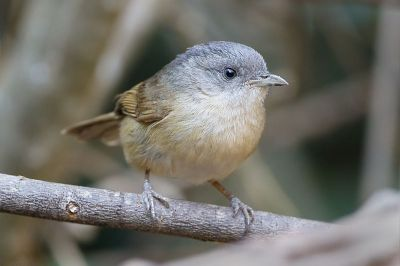 Brown-cheeked Fulvetta (Alcippe poioicephala) ©WikiC