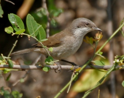 Hume's Whitethroat (Sylvia althaea) ©WikiC