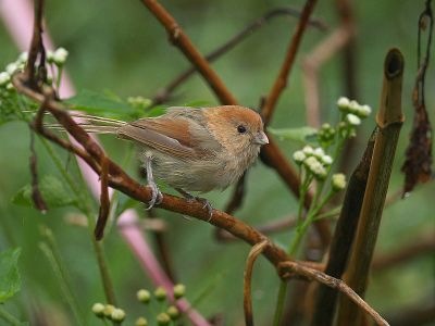 Vinous-throated Parrotbill (Sinosuthora webbiana) ©WikiC