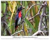 Mistletoebird (Dicaeum hirundinaceum) by Ian 1