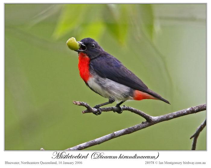 Mistletoebird (Dicaeum hirundinaceum) by Ian 2