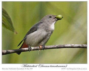 Mistletoebird (Dicaeum hirundinaceum) by Ian 3