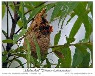 Mistletoebird (Dicaeum hirundinaceum) by Ian 4