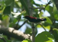 Scarlet-backed Flowerpecker (Dicaeum cruentatum) by Peter Ericsson