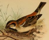Shelley's Sparrow (Passer shelleyi) ©Drawing WikiC