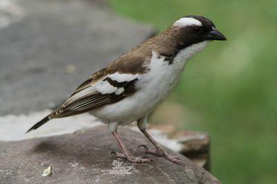 White-browed Sparrow-Weaver (Plocepasser mahali) ©WikiC