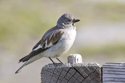 White-winged Snowfinch (Montifringilla nivalis) ©WikiC