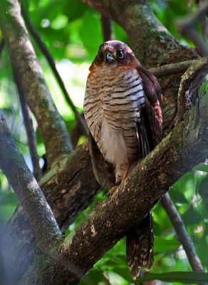 Barred Forest Falcon (Micrastur ruficollis) ©WikiC