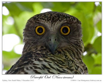 Powerful Owl (Ninox strenua) by Ian 1