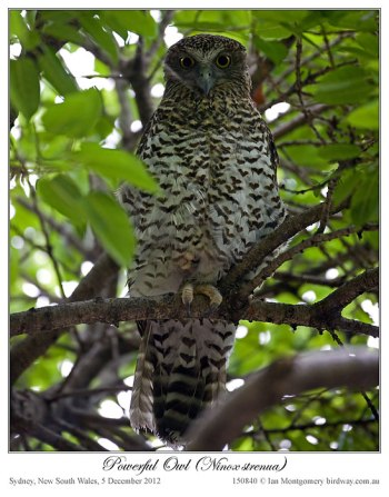 Powerful Owl (Ninox strenua) by Ian 3