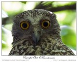Powerful Owl (Ninox strenua) by Ian 4