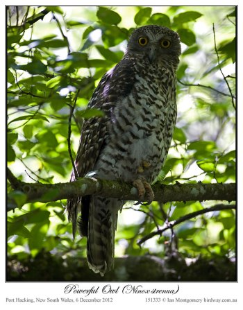 Powerful Owl (Ninox strenua) by Ian 5