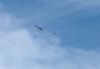 First Eagle Chased off by Grackle-crop