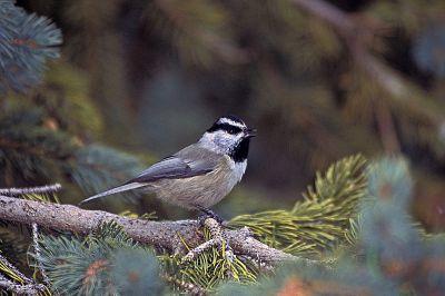 Mountain Chickadee (Poecile gambeli) ©WikiC