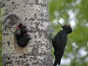 Black Woodpecker (Dryocopus martius) with Young ©WikiC