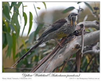 Yellow Wattlebird (Anthochaera paradoxa) by Ian 1