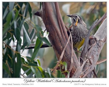 Yellow Wattlebird (Anthochaera paradoxa) by Ian 2