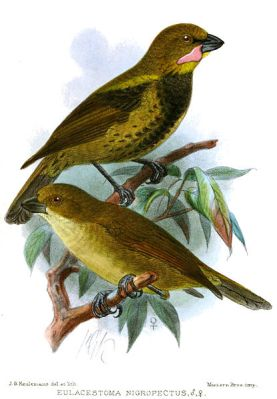 Wattled Ploughbill (Eulacestoma nigropectus) ©Drawing WikiC
