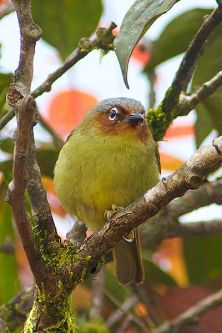 Chestnut-faced Babbler (Zosterornis whiteheadi) ©WikiC