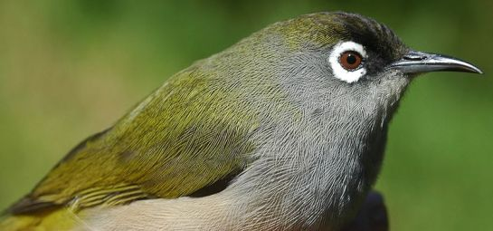 Reunion Olive White-eye (Zosterops olivaceus) ©WikiC