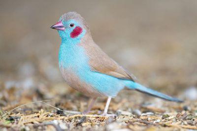 Red-cheeked Cordon-bleu (Uraeginthus bengalus) ©WikiC